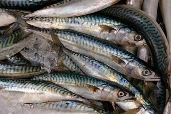 Close up of caught Mackerel on ice in a fish market