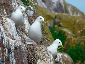 Three white seabirds on rocks