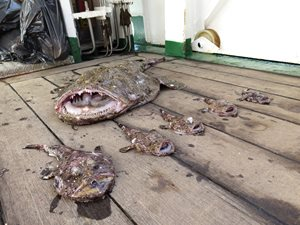 Various sizes of monkfish on deck of boat