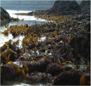 Kelp on the Irish coastline